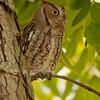 Screech Owl in pecan tree