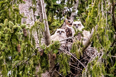 4-25-2016 Great Horned Owl 092 SM