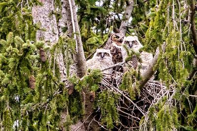 4-25-2016 Great Horned Owl 092 SM