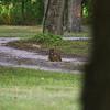 Great horned owl taking a dust bath