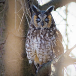 Long-eared Owl 'Sleeping'