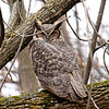 great horned owl: Bubo virginianus, Petrie Island