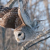 barred owl: Strix varia, Kingston, Lemoine Point