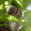 Screech Owl showing big eyes