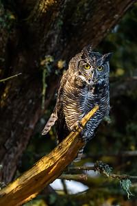 Pre Pounce Owl