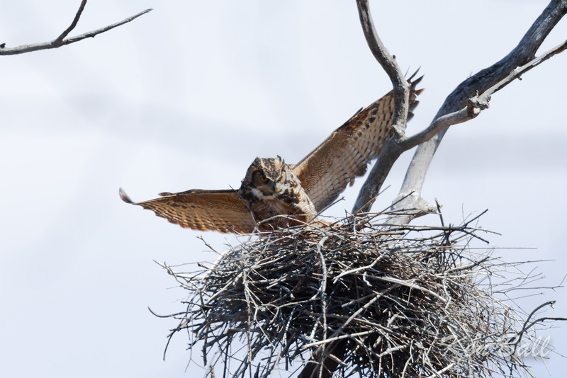 female returns to nest after a short foraging attempt.<br /> great horned owl: Bubo virginianus, heronry