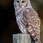 Barred Owl (Vertical)