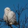 Snowy owls at Salisbury Marsh