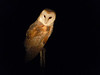 Rio Vista, CA Jan 2013 BARN OWL
