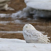 Snowy Owl on the coast