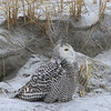 Snowy Owl at the beach