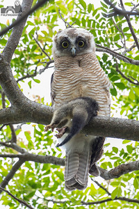 Rufuous Owl - Juvenile