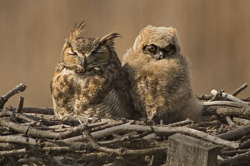 02-09-9961-041506_0258PM-GrH Owl with chick 6x4