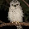 Powerful Owl Fledgling