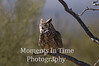 Owl, Great Horned (Bubo virginianus)
