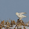 Snowy Owl in the corn field