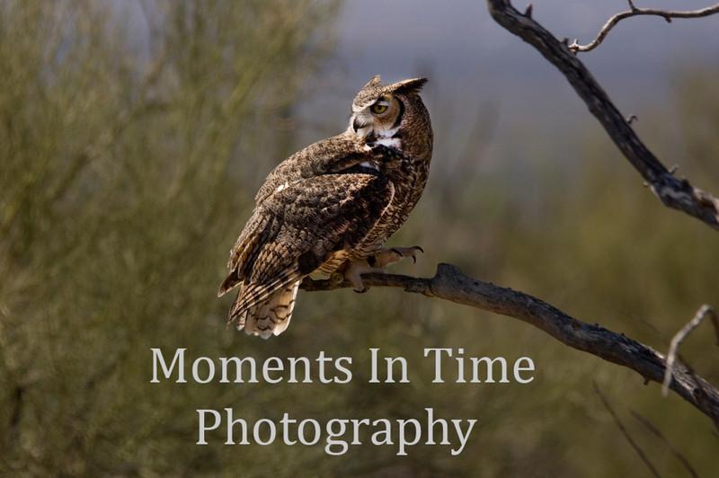 Owl, Great Horned (Bubo virginianus)