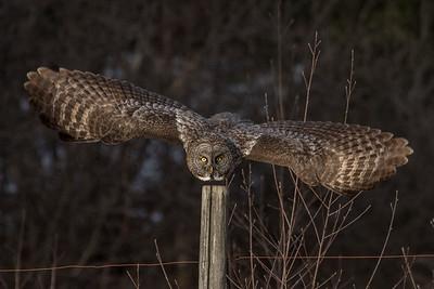 3-13-2017 Great Gray Owl 1612 SM