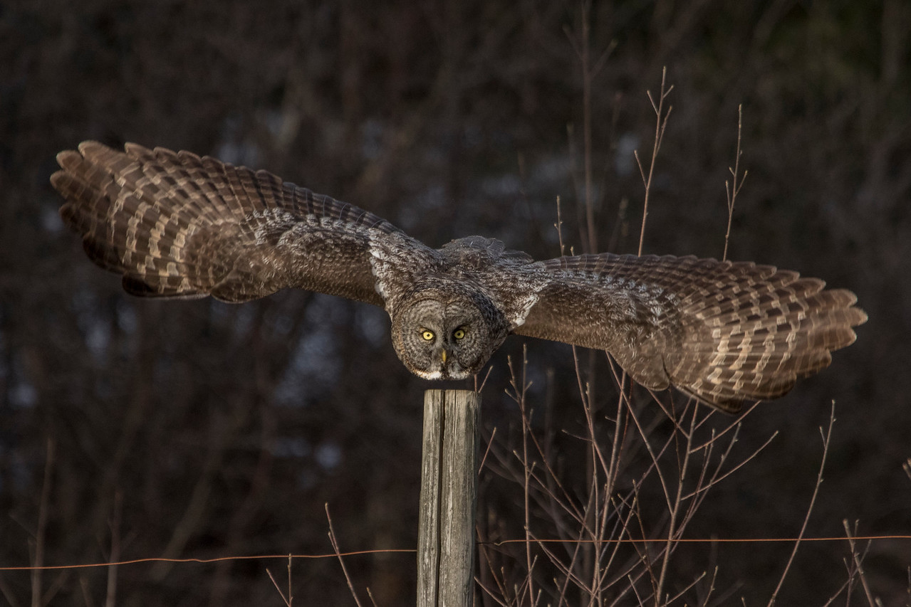 3-13-2017 Great Gray Owl 1612 SM