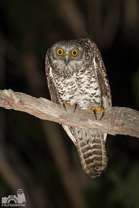 Powerful Owl (juvenile)