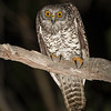 Powerful Owl (juvenile)