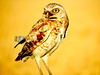Burrowing Owl at Sunset in Brentwood, CA