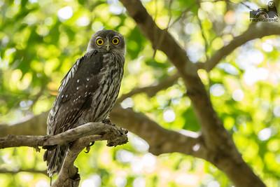 Barking Owl (Juvenile)