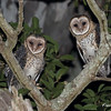 Masked Owl Pair (Male and Female)