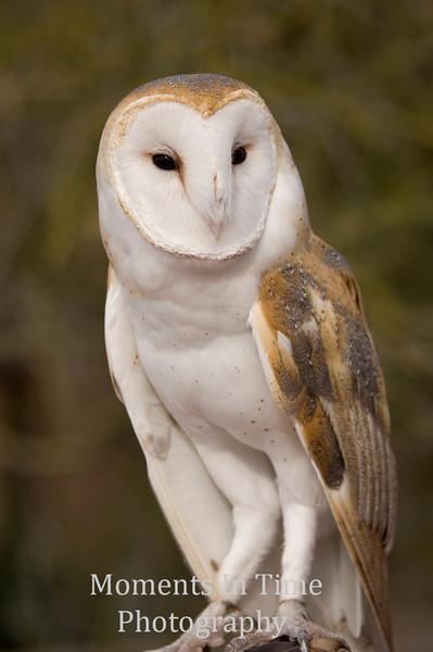 Owl, barn, (Tyto alba)