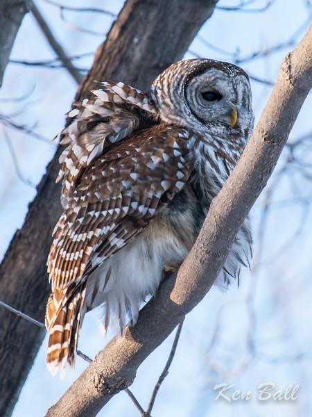 barred owl: Strix varia, Kingston, Lemoine Point