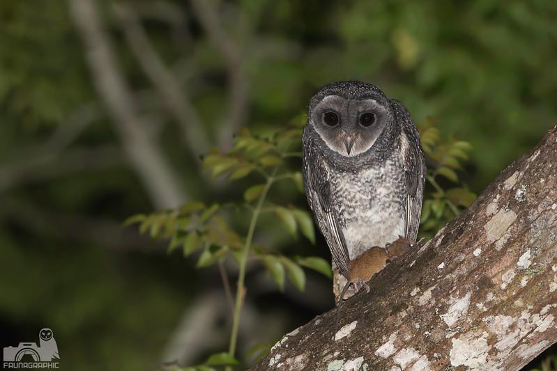 Lesser Sooty Owl - Juvenile