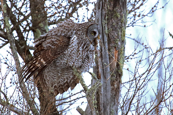 Great Grey Owl With Breakfast #2 (Strix nebulosa)
