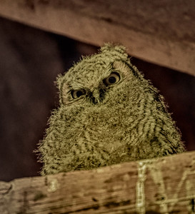 Great Horned Owl ~ Young