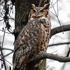 great horned owl: Bubo virginianus, Petrie Island During the time the Owl was in this location, it was mobbed by three crows. It just made itself tall and skinny and stared the crows down. When the crows finally went away after about 15 minutes, I could see the Owl take a deep breath as if to relax.