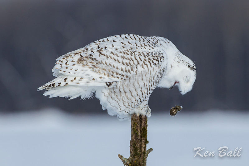 snowy owl: Bubo scandiacus, juvenile: immature, Wall Road<br /> The Snowy Owl regurgitates a pellet consisting of bones and other undigestable parts of mice, voles and other prey.