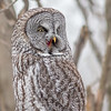 Great Gray Owl, Prince Edward County, Ontario