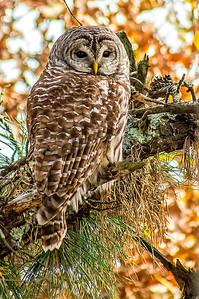10-28-2014 Barred Owl 202 SM