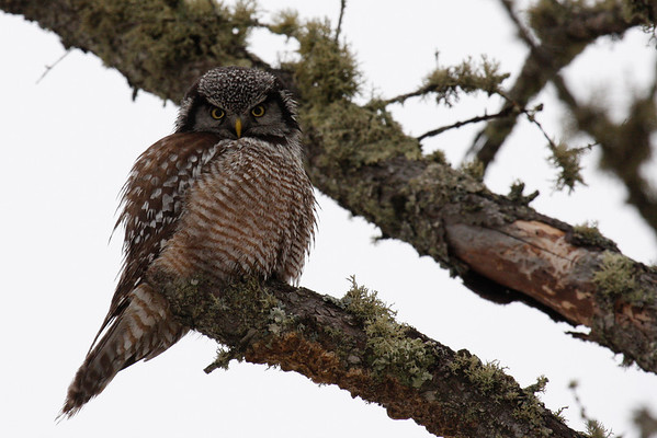 Northern Hawk Owl (Surnia ulula)