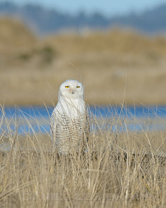 Snowy Owl, 1-11-13. Cropped image.