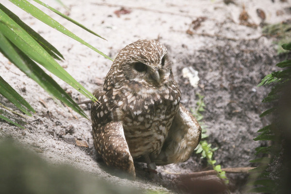 Burrowing Owl in the sand