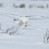 snowy owl: Bubo scandiacus, Wall Road