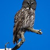 great gray owl: Strix nebulosa, Green's Creek