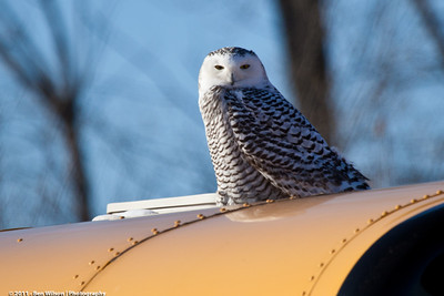 Snowy Owl in North St. Paul