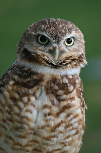 Burrowing owl at Birds of Prey in Coaldale