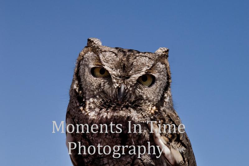 Owl, western screech  (Megascops kennicottii)