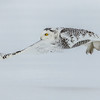 snowy owl: Bubo scandiacus, juvenile: immature, Wall Road