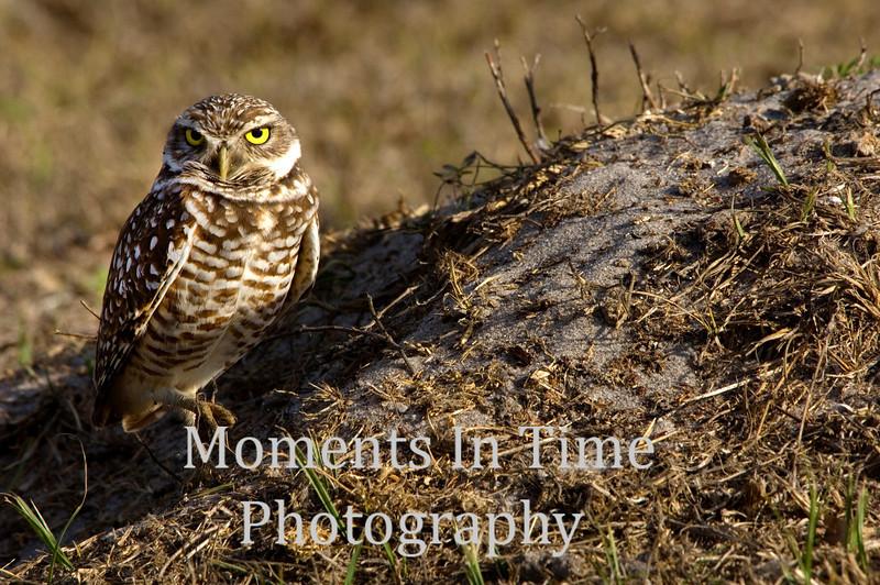 Owl burrowing (Athene funicular)