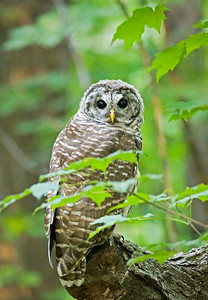 Barred owl at the MN Landscape Arboretum