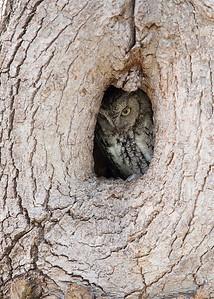 Eastern Screech Owl-MN