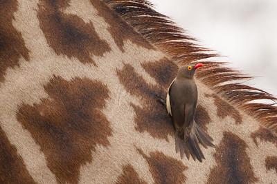 Red-billed Oxpecker on a Giraffe - Lake Manyara National Park, Tanzania
